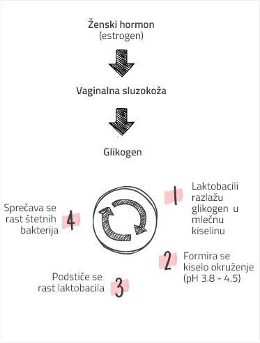 Zenski hormon - Vaginalna sluzokoza